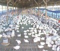 PREVENTION FOR AVIAN INFLUENZA A/H5N1 AND 1/H7N9 FOR AVIAN AND HUMAN