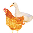 Health management, disease prevention and treatment in poultry
